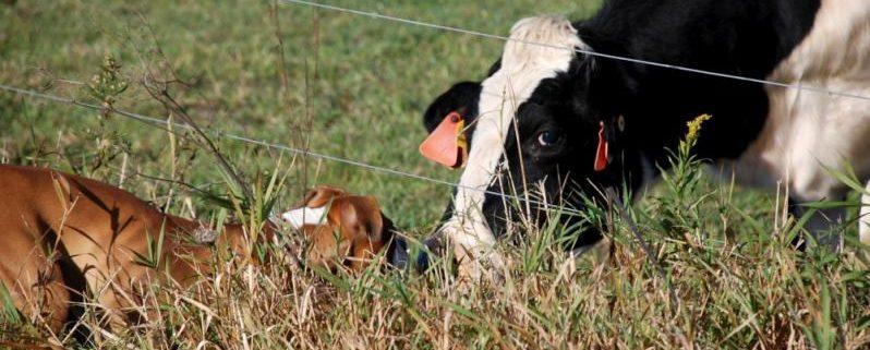 Imagen de una vaca en un pasto. Imagen: BelindaCol / FreeImages