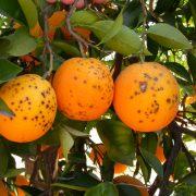 Naranjas afectadas por la enfermedad de la mancha negra. Imagen: IVIA