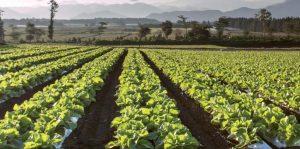 Cultivo de lechugas. Foto: BASF