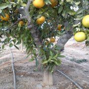 Un naranjo en un campo valenciano. Imagen: e-Comercio Agrario