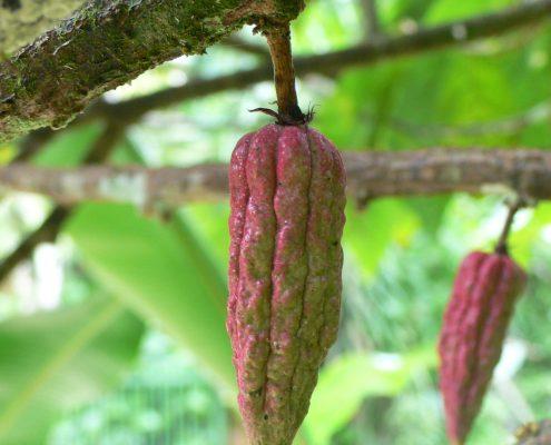 cacao-pod-1321832