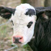 calf-1511690-1919x1423