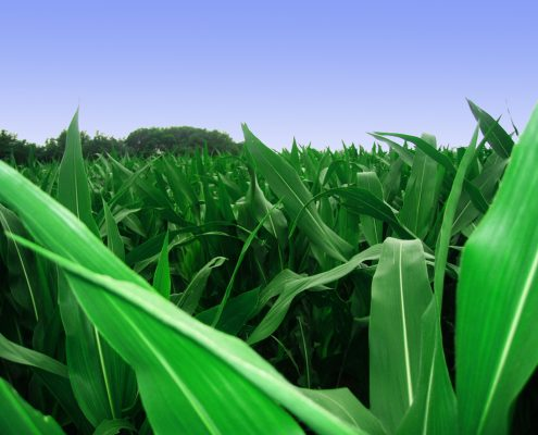 maize-1-1328984