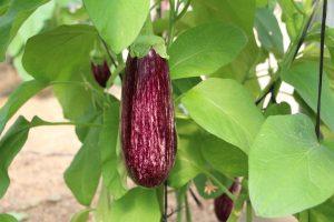 Fitó es líder en berenjena rayada con variedades como la nueva Nerea