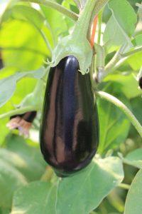 La nueva variedad de berenjena semilarga negra de Semillas Fitó