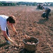 arranque-de-patatas