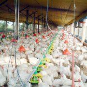 aviculture-in-brazil-1529395