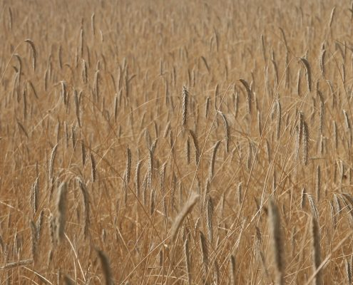 field-full-of-wheat-1378567