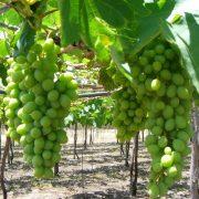 grapes-1325239
