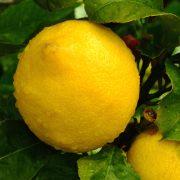 lemons-1182337-1279x1032