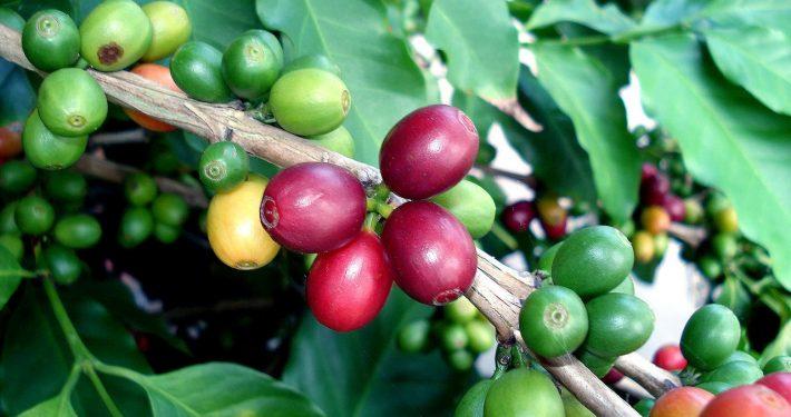 tree-of-coffee-3-1169589-1280x960