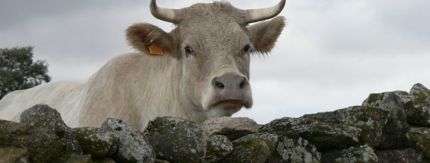 cow-1407577-1600x1200