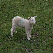 lamb-1369017-639x425