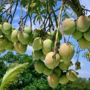 mango-1326454-640x480