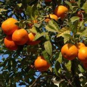 oranges-at-tree-1325437-640x480