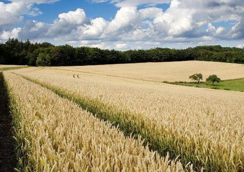 Campo de trigo1