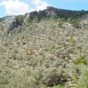 olivar pendiente