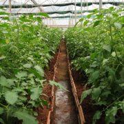 tomato-plants-320663_960_720