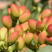 I-Jornadas-sobre-el-cultivo-del-pistacho-y-el-almendro