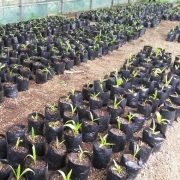plantas de coco