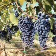 tuscany wine grapes