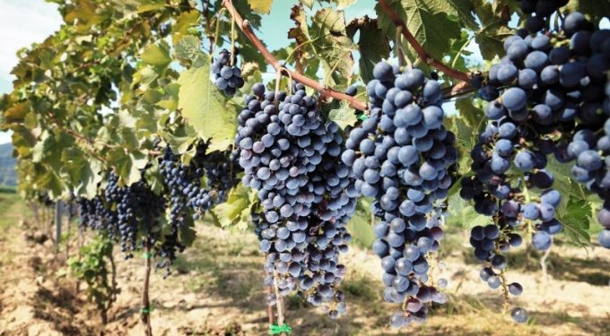 tuscany wine grapes