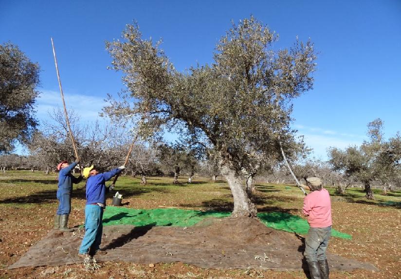 161213_aceite de oliva