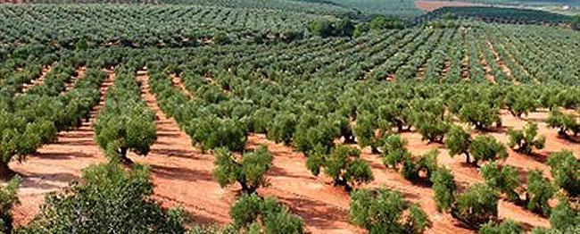161214_ campo de olivos