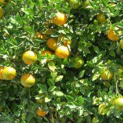 161216_mandarina