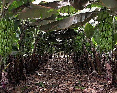 170206_plátano Canarias