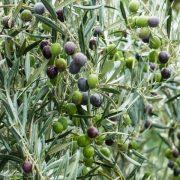 170223_olivar