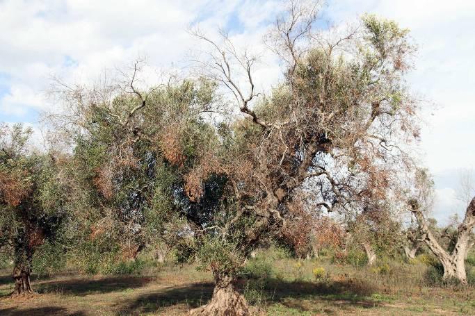 Olivo afectado por Xylella Fastidiosa.