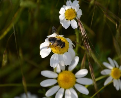 170329_abeja sobre margarita