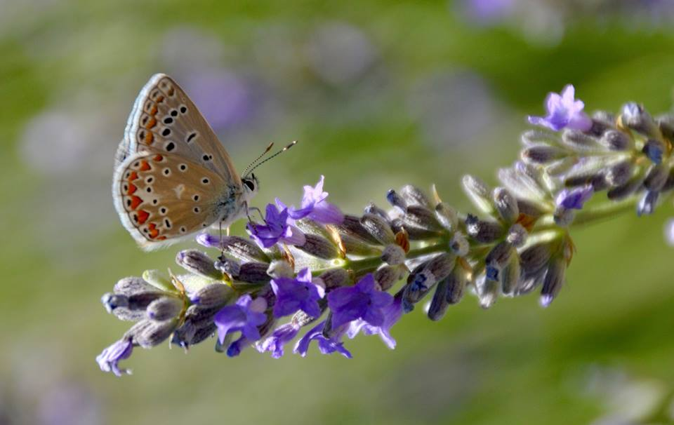 Butterfly on lavender.