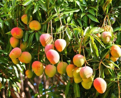 170408_mangos