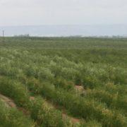 170505_cultivo del olivar en seto