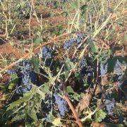 170918_daños en viñedosCLM
