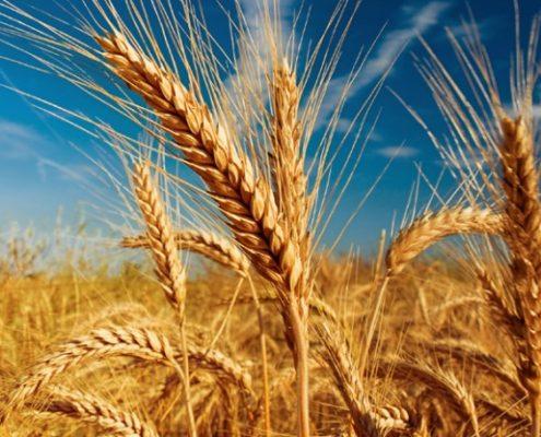 171001_cultivo de cereal