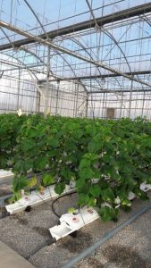 Cucumber cultivation system with reuse of the nutrient solution.