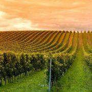 vitivinícola