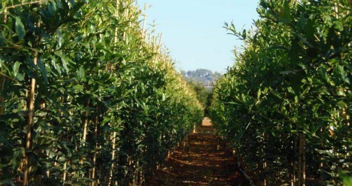 """Plantación de Granado bajo el sistema de producción """"Guided just in time"""""""