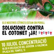 cotonet